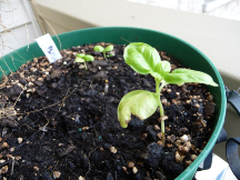 the basil I started from seed is growing....slowly