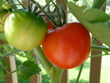 the first Fourth of July tomatoes to start ripening