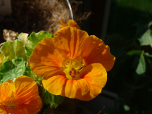 Nasturtium blooms in the window basket