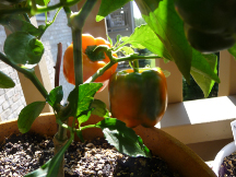 more peppers ripening