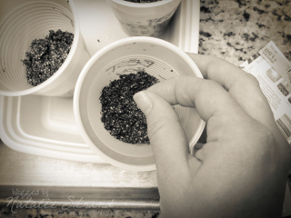 planting my tomato seeds for the 2013 garden