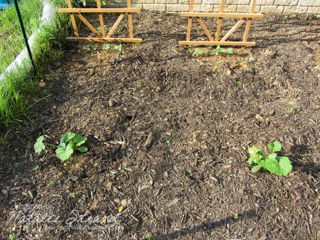 cucumbers and zucchinis: 22 May