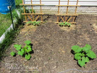 cucumbers and zucchinis: 30 May