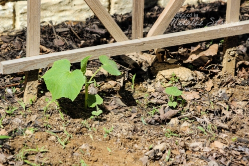 cucumbers: getting a slow start, it seems