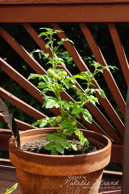 V's tomato plant