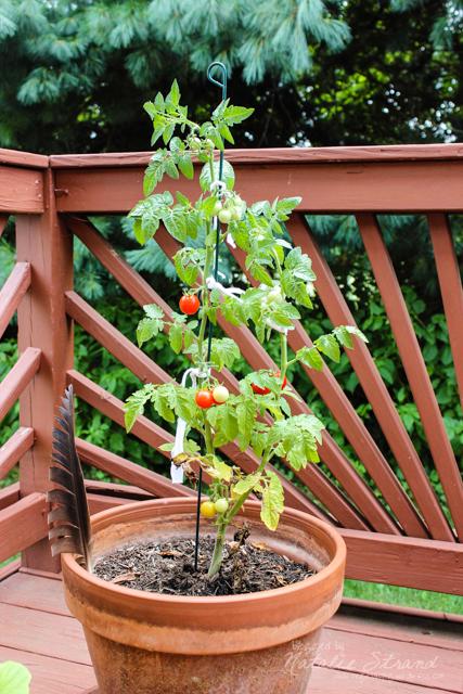 Vivian's tomato plant