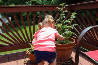 Vivian picking her first tomatoes!