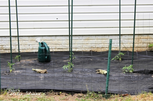 After our experience with last year's weeds, and dealing with those awful seed-spraying weeds to prepare the garden, I decided that we should use the black weed-blocking cloth this year.  Hopefully it helps tame them!