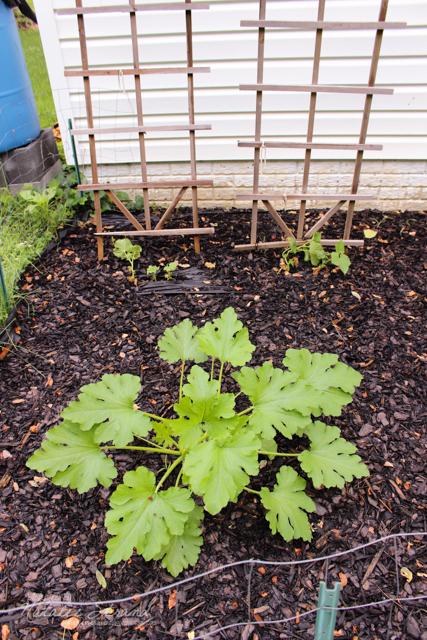 cucumbers and zucchini