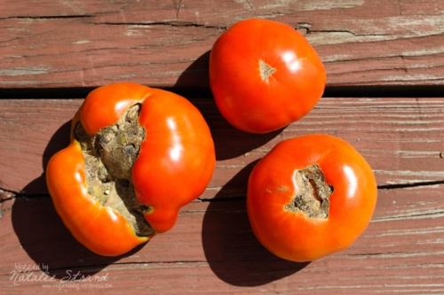 First tomato harvest. I should have watered more consistently, as evidenced by the bad blossom-end rot on two of the three Beefsteak tomatoes I harvested.