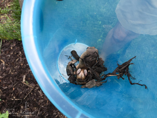 As I was out taking care of the garden today, I discovered this little beastie buried in the mulch. Joel came out and using gloves, got it into a bucket and released it into the brush behind our house. I think it was a bunny?