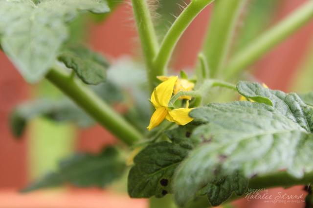 The kids' tomato plant