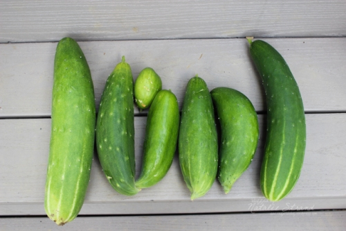 Today's harvest: seven(ish!) cucumbers. Thankfully they are sweeter than earlier cucumbers we've gotten.