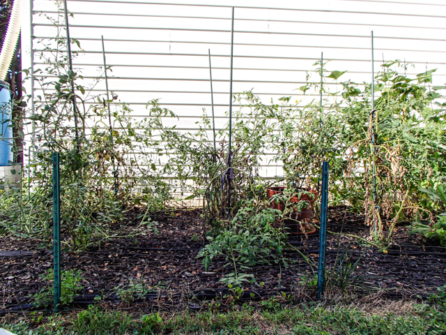 I haven't had the motivation to take very good care of the garden, since it seems as though a deer is eating every single tomato that approaches ripeness...